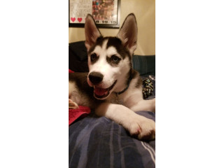 9 month old Siberian Husky