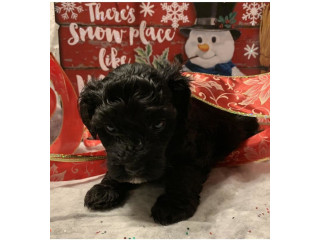 CKC Yorki Poo Puppies