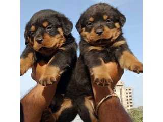 Adorable rottweiler puppies available and ready to go .