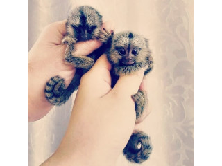 Finger Marmoset Monkeys text 3399709126