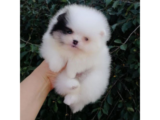 Pomeranian Tiny Teacup babies . Message us 339-970-9126