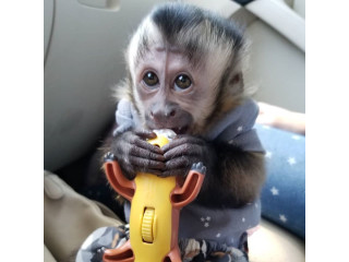 USDA Capuchin Monkeys. 7 Months old and diaper trained 339-970-9126