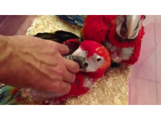 Super Tame Baby Scarlet Macaws