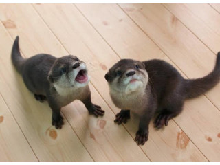 Cute Asian Small-clawed Otters For Sale
