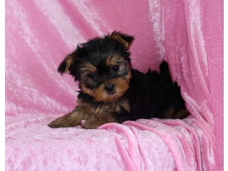 Lovely Yorkie puppies 405-585 - 6479