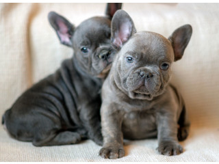 French Bulldog puppies for a Good x mass