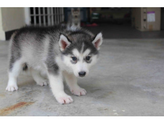 We have pure bred Siberian husky puppies for adoption