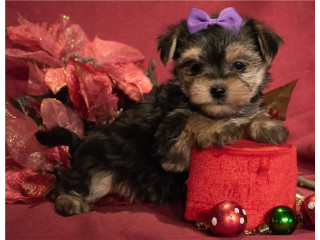Teacup Yorkie puppies for a loving home