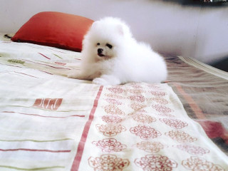 11 weeks old Teacup Pomeranian Puppies available