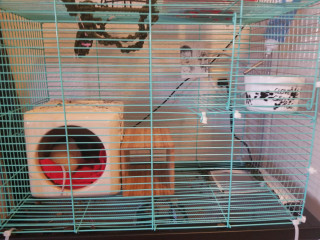 Two young rats, custom built cage