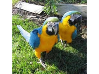 Talking Blue And Gold Macaws for Sale