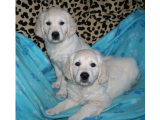 Golden Retriever 1 girl and 1 boy available for adoption fee