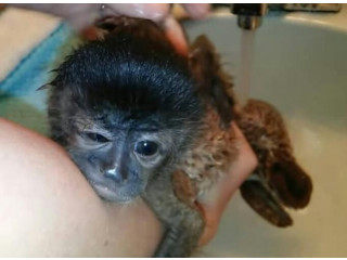 Baby Capuchin monkey for adoption fee included
