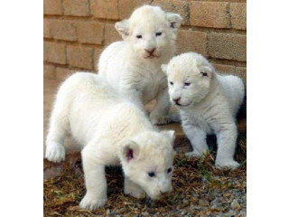 WHITE LION CUBS FOR ADOPTION FEE