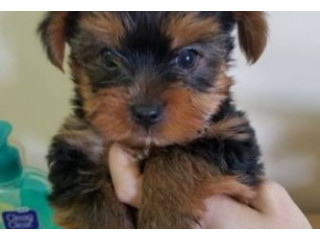 Yorkie Puppy 1 girl and 1 boy available for adoption fee