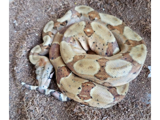 Male Columbian Red Tail Boa
