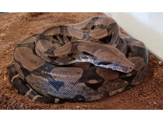 Female Kahl Anery Red Tail Boa
