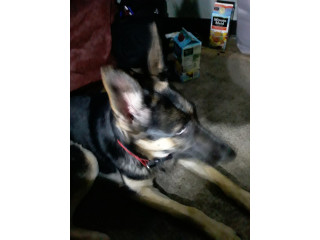 German Shepard for sale 300$