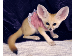Male and female fennec foxes for sale