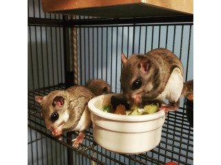 Flying squirrel for sale.