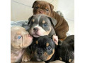 bull-dogs-for-sale-small-0