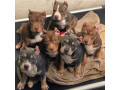 bull-dogs-for-sale-small-1