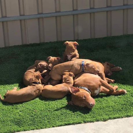 bull-dogs-for-sale-big-2