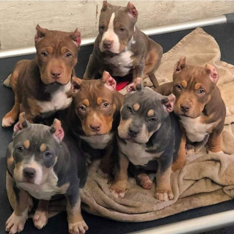 bull-dogs-for-sale-big-1