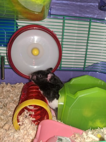 male-baby-hamsters-for-sale-big-2