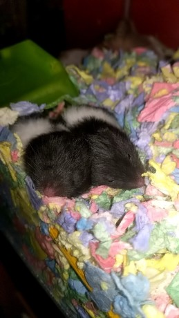male-baby-hamsters-for-sale-big-1