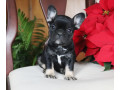 french-bulldog-puppies-for-sale-small-0