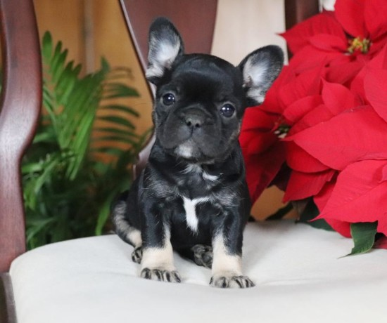 french-bulldog-puppies-for-sale-big-0