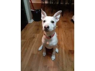 6 month blue nose pit for rehome