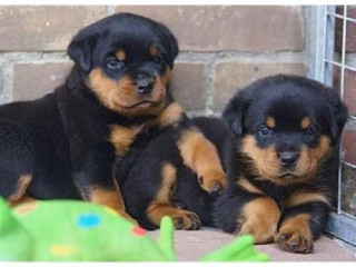 B/W fluffy Adorable and Playful rottweiler Puppies