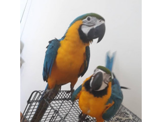 Talking Blue and Yellow Macaw for adoption fee