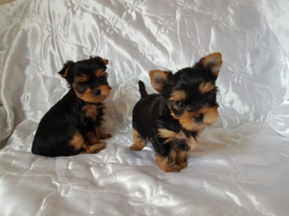 ADORABLE Toy Yorkie puppies
