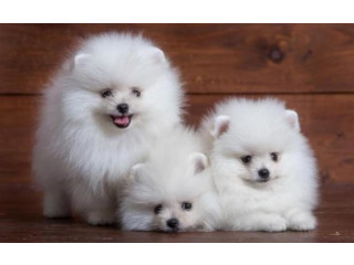Pomeranian puppies available for rehoming