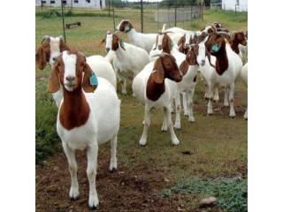 Registered Boer goats and sheep. Awassi and Dorper. Contact 339-970-9126