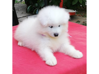 Samoyed puppies AKC reg Text or call 339-970-9126