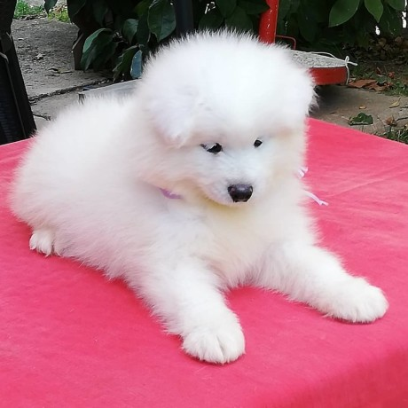 samoyed-puppies-akc-reg-text-or-call-339-970-9126-big-0