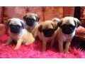 adorable-pug-puppies-available-for-sale-small-2