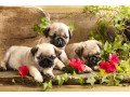 adorable-pug-puppies-available-for-sale-small-1