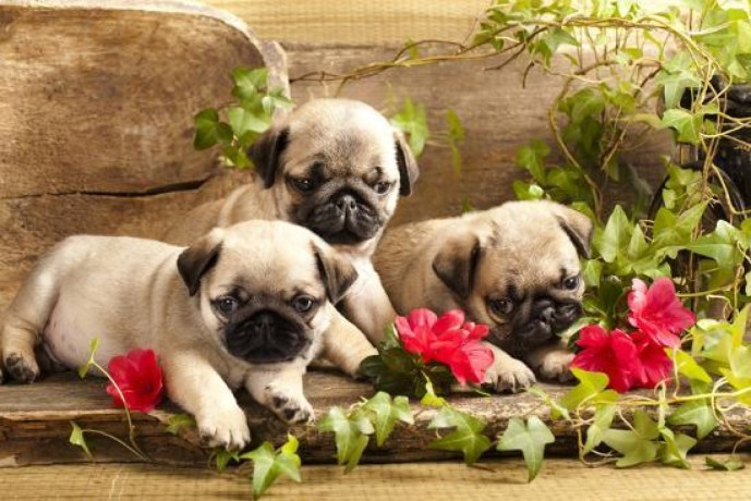 adorable-pug-puppies-available-for-sale-big-1