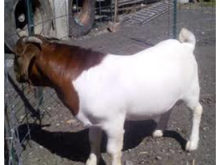 Boer,kalahari,Senaan and Nigerian Dwarf goats for sale