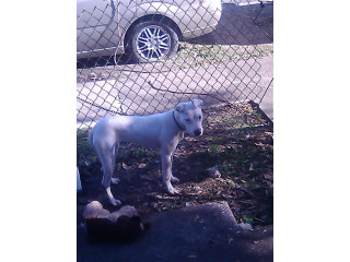 Catahoula mixed with American Pitbull Terrier