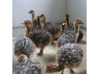 Ostrich and emu chicks and fertile eggs for sale