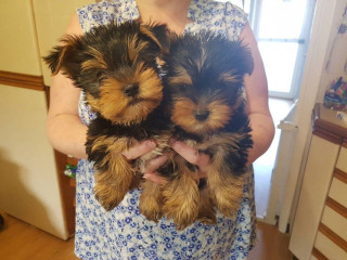 Most Adorable Yorkshire Terrier puppies.