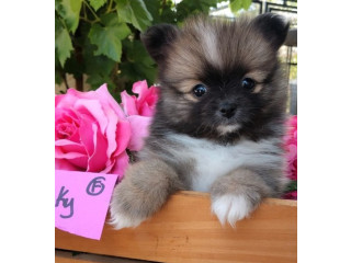 Males and females pomeranian puppies