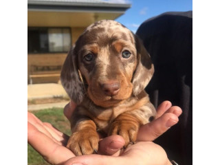 Short Haired Miniature Dachshunds Puppies for adoption
