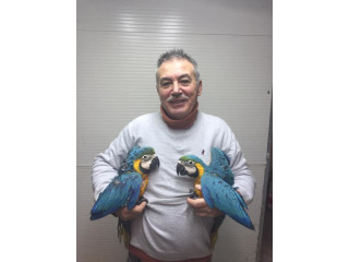Macaw blue and gold for adoption fee